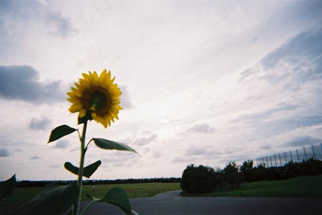 向日葵。2011