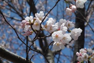 桜0409