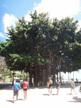 バニヤンの木1
