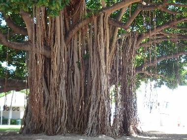 バニヤンの木2