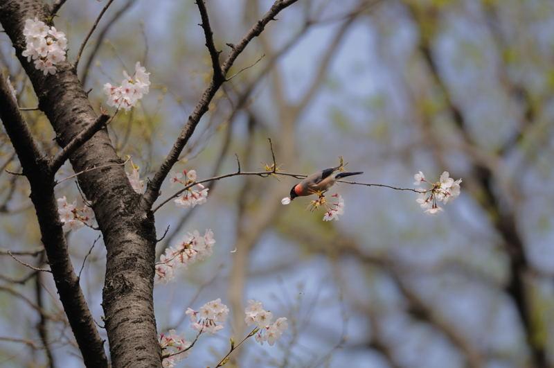 DSC_9836-桜ウソ-B