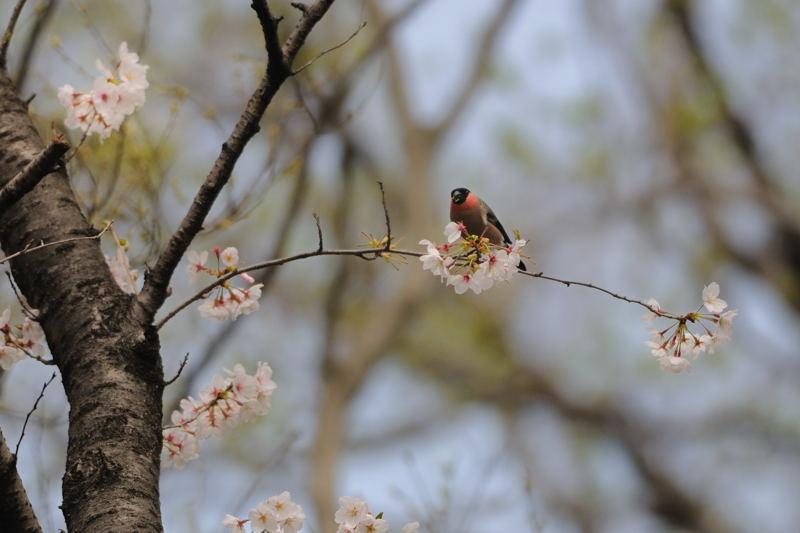 DSC_9784-桜ウソ-B