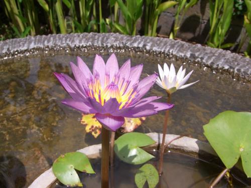 バリ花12a