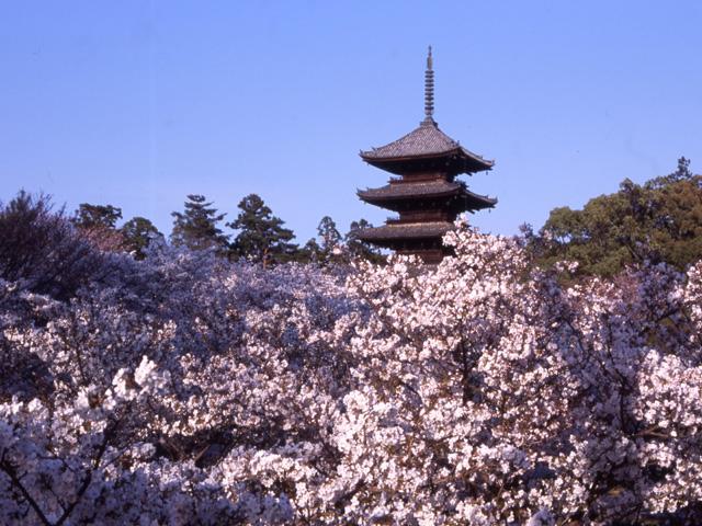 桜 京都1