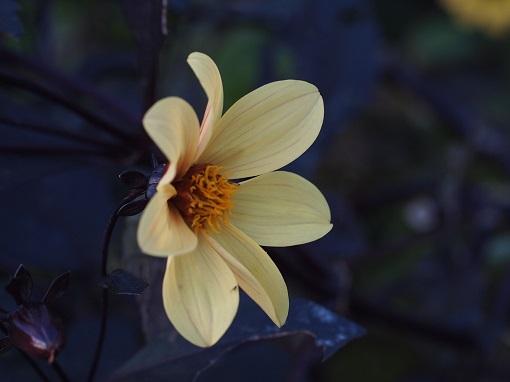 銅葉のダリア