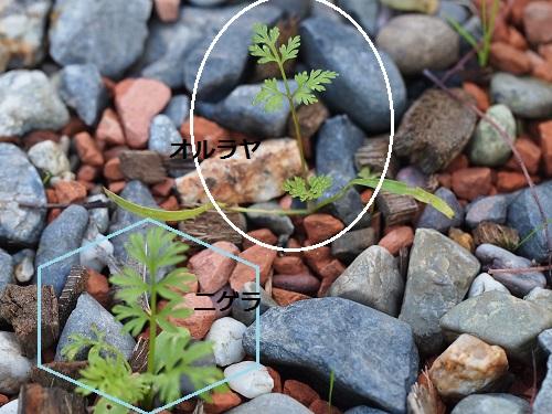 こぼれ種の発芽