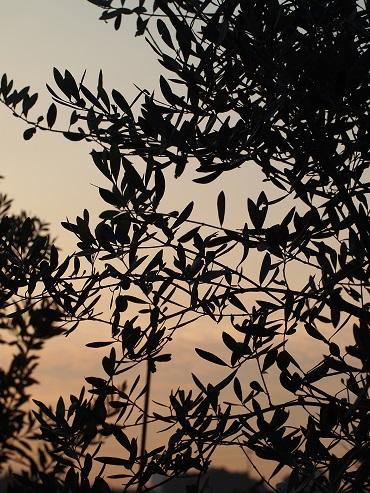 朝の様子(オリーブの木)