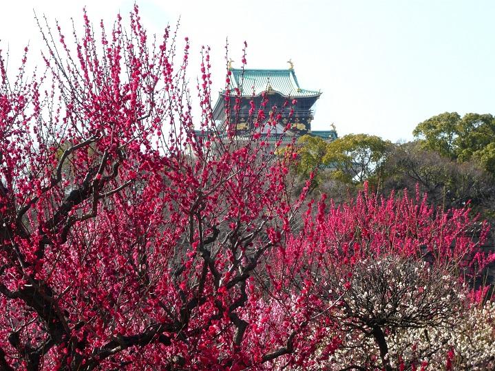 大阪城梅3