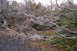 風の影響で不思議な方向を向く樹木