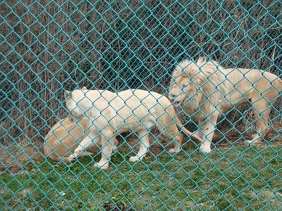 100416ホワイトライオン