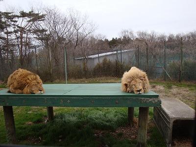 100416ホワイトライオンと普通のライオン