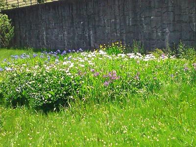 100515公津の杜近隣公園のお花たち