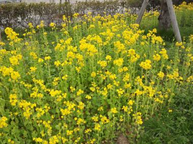 菜の花bs