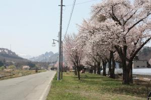 只見川沿いの桜5/5