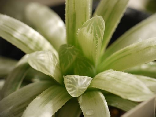ピリフェラ白琥珀斑 水晶玉