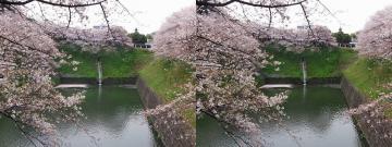 桜の花びらが水面に溜まっています