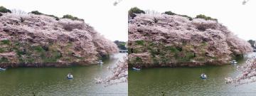 こんもり桜