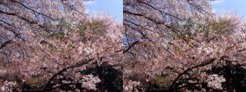 いろんな種類の桜が楽しめます