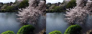 池と桜 1