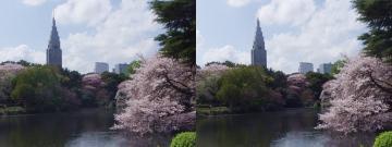 池と桜 2