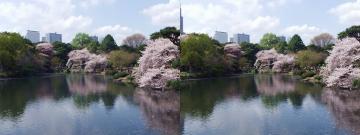 池と桜 3