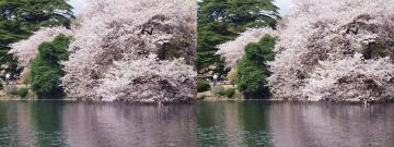 池と桜 4