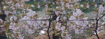 桜の奥の水風景