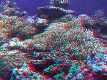 アナグリフ サンゴ