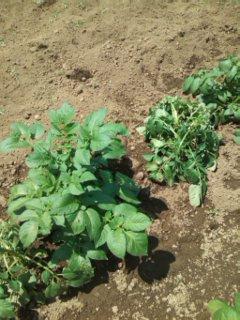 イノシシ被害 ジャガイモ苗