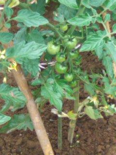 100529_フジタさんのトマト