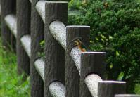 公園のカワセミ001