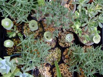 グリーノビア オーレア(Greenovia aurea)玉姫椿~夏の休眠芽wなんだかクリクリ~w2011.08.20