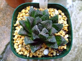 ハオルチア 毛蟹(Haworthia hybrid Kegani )9cm鉢に植え替えました!2011.08.29