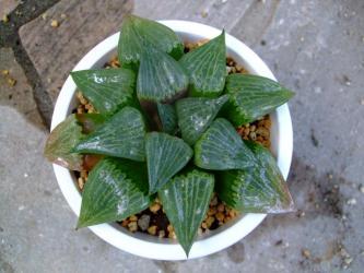 ハオルチア・コンプトニアナ(Haworthia retusa var comptoniana )12cm鉢に植え替えました!2011.08.29