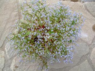 セダム カウルレア(Sedum caeruleum)ブルー花満開