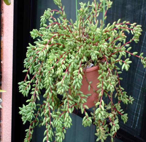 Sedum rubens  ジェイドペンダント(虹の<br />玉より小型で葉先が尖って垂れ下がってくる)