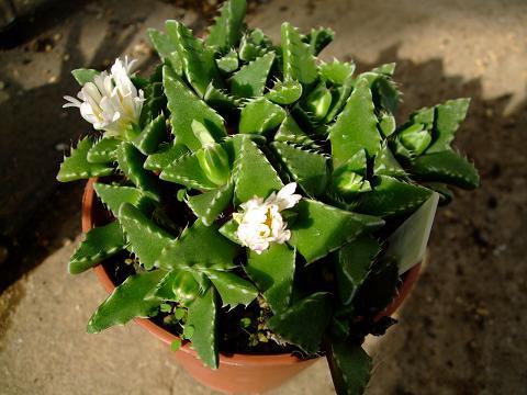 Faucaria candida white flowers ツルナ科 フォーカリア属 雪波(ゆきなみ)蕾でき始め~w