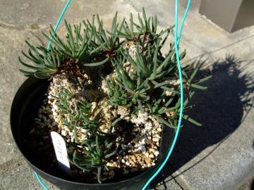 メセン科 フィロボルス属  Phyllobolus sp . 2010.11.24