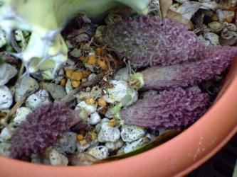 アドロミスクス  ヘレー(Adromischus herrei  )2010.11.27