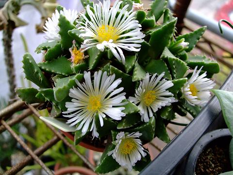フォーカリア属 雪波(ゆきなみ)午後の日差しを浴び開花!