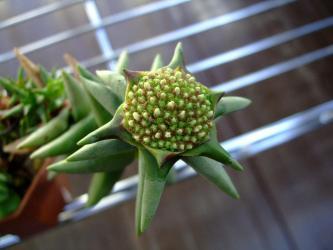 甘爽やかなとっても良い香り~クラッスラ ラティケパラ (Crassula laticephala)