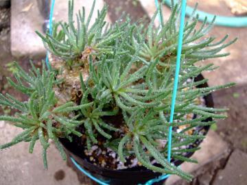 メセン科 フィロボルス属  Phyllobolus sp . 2010.12.12