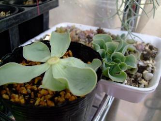 Greenovia aurea. グリーノビア属 オーレア(玉姫椿)2010.12.12