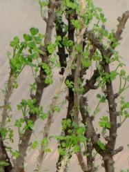 Oxalidaceae Oxalis gigantea (カタバミ科オキザリス属ギガンティア)原産国:ペルー。木質化する2010.12.15