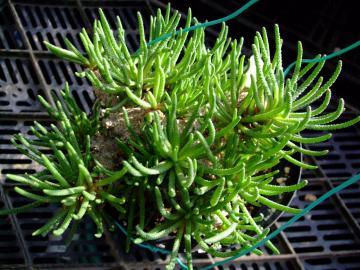 メセン科 フィロボルス属  Phyllobolus sp . 2010.12.23