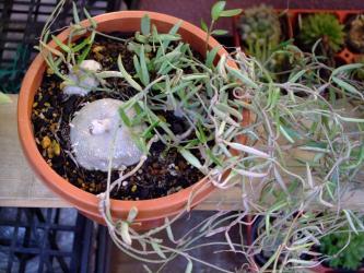 セロペギア リネアリス デビリーズCeropegia debilis, Ceropegia linearis ssp. debilis