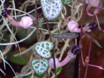 セロペギア ウッデイーCeropegia woodii