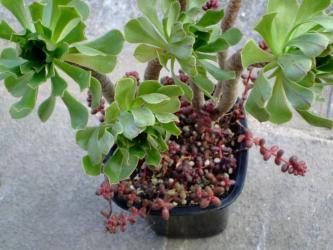 セダム 玉葉(たまば)Sedum stahlii &アエオニウム アルボレウム(緑葉) 2010.12.29