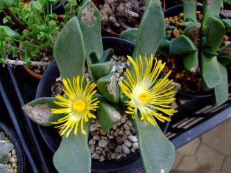 プレイオスピロス 陽光/カヌス (Pleiospilos compactus ssp. canus)  2011.01.02