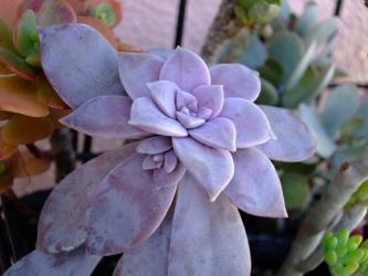 Graptopetalum pentandrum ssp. superbum. 2011.01.02